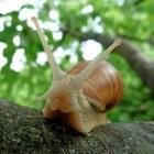 Slakken eten uit de tuin, een delicatesse