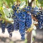 De meest voorkomende druiven in rode wijn