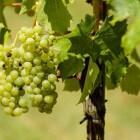 De meest voorkomende druiven in witte wijn