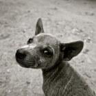 Hondenvlees Festival - Yulin Dog Meat Festival