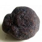 Truffel – Ventoux Zwarte Diamant van Carpentras