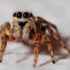 Spinnen op het menu - gefrituurde tarantula op de hamburger