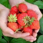 Hoe kun je het beste aardbeien bewaren?