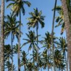 Palmolie en het tegengaan van ontbossing door RSPO