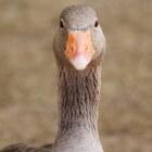 Bestaat diervriendelijke foie gras?
