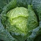 Kool, een geneeskrachtige groente