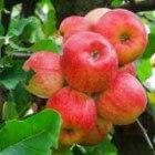 Waar zijn appels goed voor?