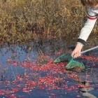 Cranberry (veenbes) op de Waddeneilanden en op Ameland