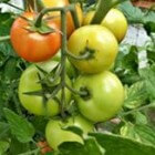 Tomaten uit eigen kas