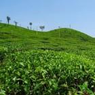 Hoe wordt thee gemaakt? Van struik tot productieproces