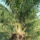 Positieve en negatieve gevolgen van palmolieproductie
