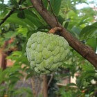 Onbekend fruit: Cherimoya