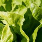 Sla: kropsla was een wilde groente en sla als slaapmiddel