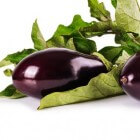 De aubergine of eierplant