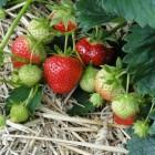 Aardbeien of zomerkoninkjes