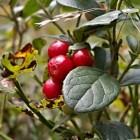 De cranberry een unieke en gezonde vrucht op Terschelling