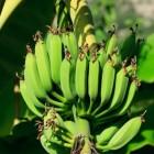 Bananen uit Gran Canaria en gebakken banaan