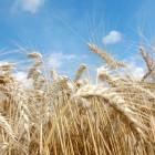 Brood en tarwe, zijn geschiedenis