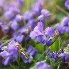 Bloemen in mijn bord, Maartse viooltjes