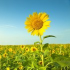 Lijnzaadolie en zonnebloemolie
