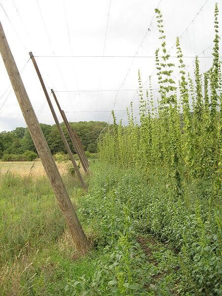 Hop Plantation / Source: Ludek, Wikimedia Commons (CC BY-SA-3.0)